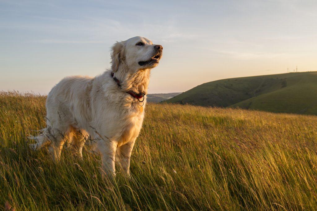 dog-senior-pet